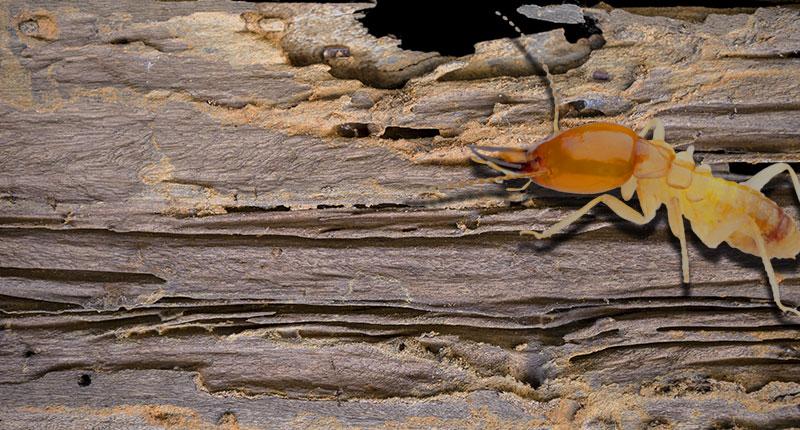 WDO/Termite Inspection